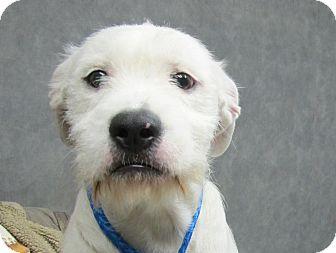 Old English Sheepdog/Terrier (Unknown Type, Medium) Mix Puppy for adoption in Harrisonburg, Virginia - Beckett