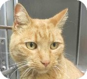 Domestic Shorthair Cat for adoption in Tinton Falls, New Jersey - Sunflower