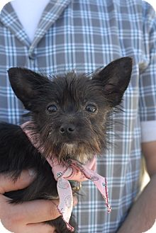 Canaan Dog/Poodle (Toy or Tea Cup) Mix Puppy for adoption in Los Angeles, California - Jett