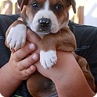 Adopt A Pet :: Shiloh - Cypress, CA