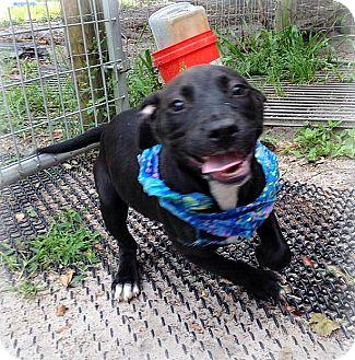 Labrador Retriever/Hound (Unknown Type) Mix Puppy for adoption in Groveland, Florida - Sinatra (16 weeks)