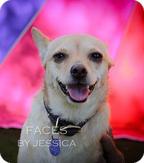 Chihuahua Dog for adoption in San Antonio, Texas - Thelma - San Antonio