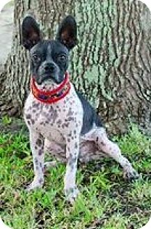 Boston Terrier Mix Dog for adoption in Various Locations, Florida - Trooper Maxwell FL-PIN