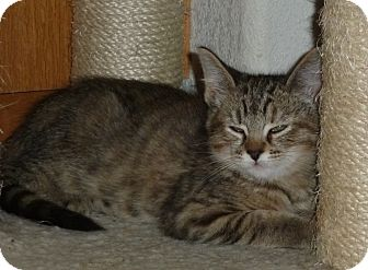 Domestic Shorthair Kitten for adoption in Portland, Oregon - Gretchen