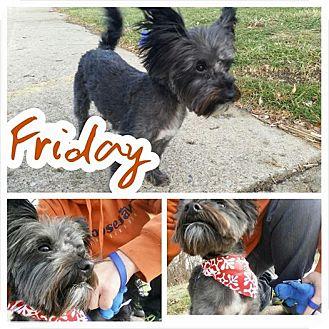 Yorkie, Yorkshire Terrier/Cairn Terrier Mix Dog for adoption in Garden City, Michigan - Friday