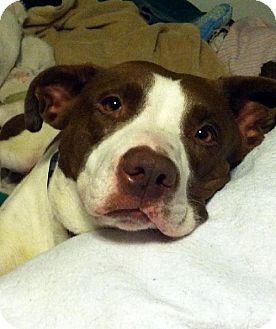 Pointer/Pit Bull Terrier Mix Dog for adoption in Lacon, Illinois - Miranda
