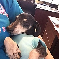 Dachshund Dog for adoption in Dallas, Texas - Jake
