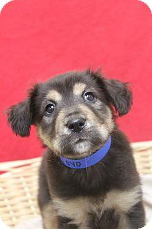 Shepherd (Unknown Type) Mix Puppy for adoption in Waldorf, Maryland - Yoyo