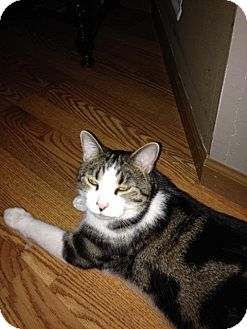 Domestic Shorthair Cat for adoption in Columbus, Ohio - Martin