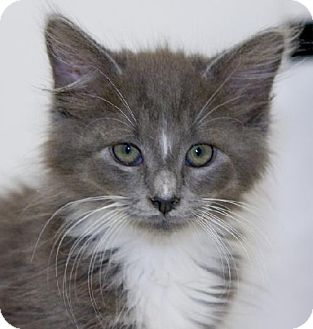 Domestic Longhair Kitten for adoption in Salem, Massachusetts - Darin
