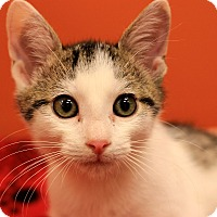 Domestic Shorthair Kitten for adoption in Flushing, Michigan - Clark
