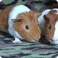 Adopt A Pet :: Paras - Highland, IN