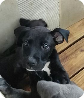 Pit Bull Terrier Mix Puppy for adoption in springtown, Texas - Storm