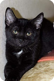 Domestic Shorthair Kitten for adoption in Staten Island, New York - Lilianna