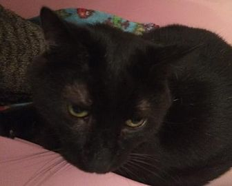 Domestic Shorthair Cat for adoption in Montreal, Quebec - Lover-Boy