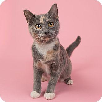 Domestic Shorthair Kitten for adoption in Wilmington, Delaware - Chloe