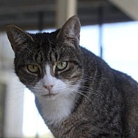 Domestic Shorthair Cat for adoption in New Bern, North Carolina - Mrs Wolowitz