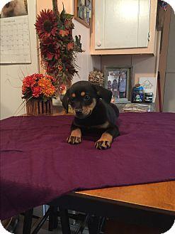 Labrador Retriever/Boxer Mix Puppy for adoption in Kittery, Maine - Elsa