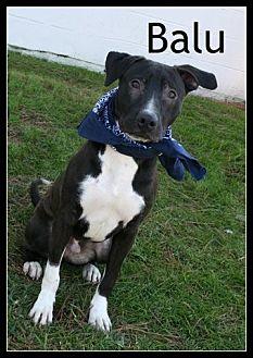 Bull Terrier/Labrador Retriever Mix Dog for adoption in Houston, Texas - Balu