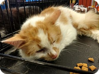 Domestic Longhair Cat for adoption in Avon, Ohio - Ross