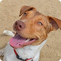 Shepherd (Unknown Type)/American Staffordshire Terrier Mix Puppy for adoption in Palm Springs, California - Theodore