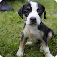 Adopt A Pet :: Puppy Berreta - Harvard, IL