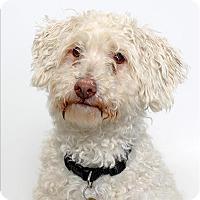 Adopt A Pet :: Tintin - San Luis Obispo, CA