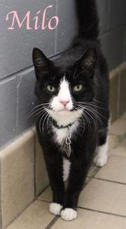 Domestic Shorthair/Domestic Shorthair Mix Cat for adoption in Bradenton, Florida - Milo