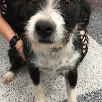 Adopt A Pet :: Pinta - Tucson, AZ