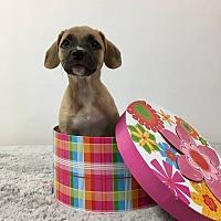 Adopt A Pet :: Jade - Joliet, IL