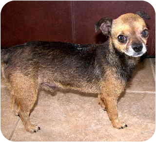 Chihuahua Mix Dog for adoption in Scottsdale, Arizona - Boogles