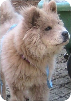 Chow Chow Dog for adoption in Greensboro, North Carolina - Mei