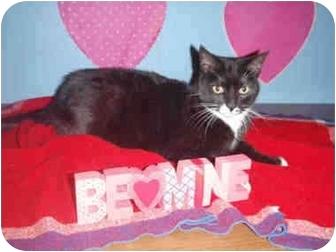 American Shorthair Cat for adoption in San Pedro, California - Madonna