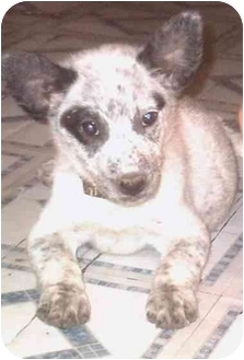 Catahoula Leopard Dog/Australian Cattle Dog Mix Puppy for adoption in Muskogee, Oklahoma - Trixie