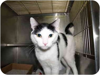 Domestic Shorthair Cat for adoption in El Cajon, California - Harvey