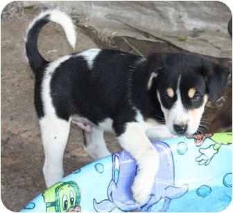 Beagle Mix Puppy for adoption in Marion, Arkansas - Mark