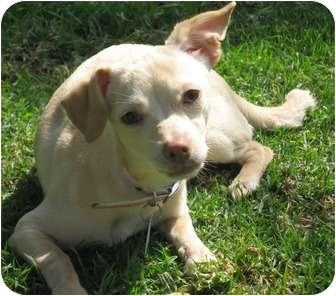 Chihuahua/Italian Greyhound Mix Puppy for adoption in Poway, California - BRIANA