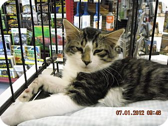 Domestic Mediumhair Kitten for adoption in Riverside, Rhode Island - Hogan