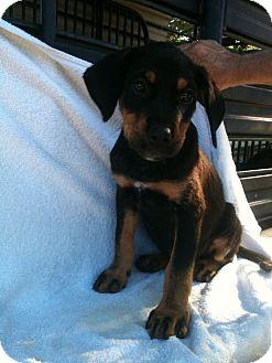 Rottweiler Mix Puppy for adoption in Russellville, Arkansas - Rascal