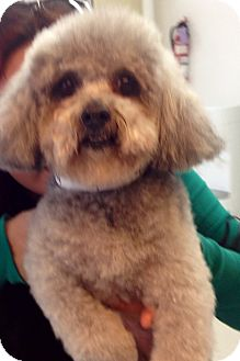 Poodle (Toy or Tea Cup) Mix Dog for adoption in Thousand Oaks, California - Felicity