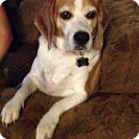 Adopt A Pet :: Tillman - Phoenix, AZ
