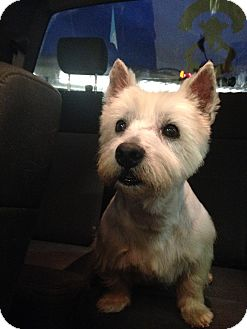 Westie, West Highland White Terrier Dog for adoption in Russellville, Kentucky - Billy Brut (FOSTER NEEDED)