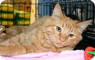 Domestic Mediumhair Kitten for adoption in Salem, Oregon - Jay