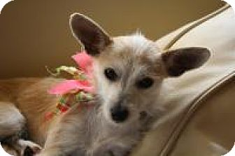 Terrier (Unknown Type, Small)/Chihuahua Mix Dog for adoption in Fallbrook, California - Bambi