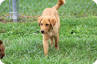 Golden Retriever/Labrador Retriever Mix Puppy for adoption in Greeneville, Tennessee - Keeghan