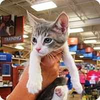 Adopt A Pet :: Tommy - Seminole, FL