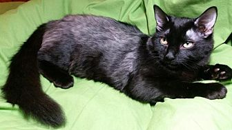 Domestic Mediumhair Cat for adoption in Sarasota, Florida - Francesca
