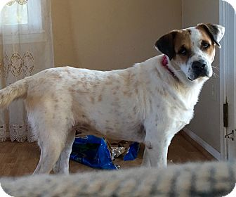 Labrador Retriever Mix Dog for adoption in Long Beach, California - Alex