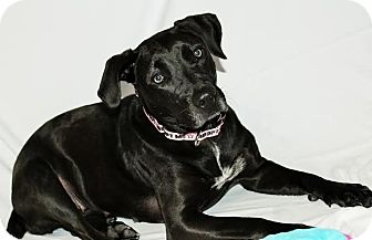 Labrador Retriever Mix Dog for adoption in Detroit, Michigan - Pantera-Adopted!