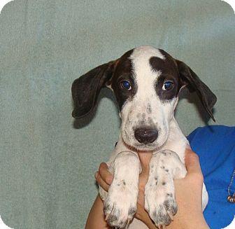 German Shorthaired Pointer/Labrador Retriever Mix Puppy for adoption in Oviedo, Florida - Thor